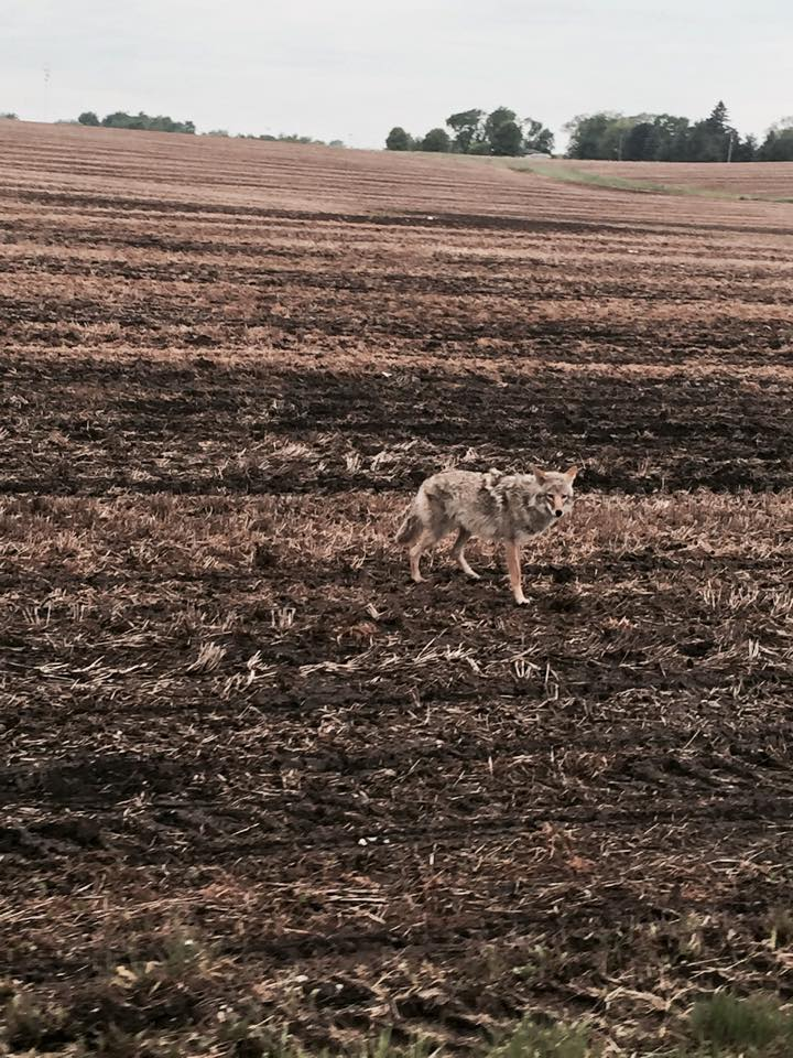 Coyote on Parker Road May 24 2015